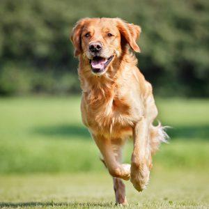 athletic performance dog